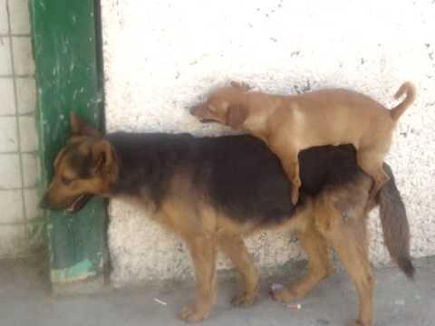 mexican dog fight pelea perros sangrienta tambien los chiquitos pueden lutte de chiens comedia