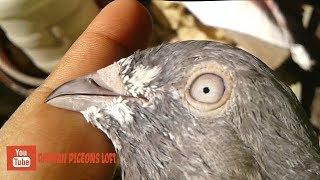 Old pigeon breeds - blue eyes pankhi  pigeons. bd rahman pigeons loft.