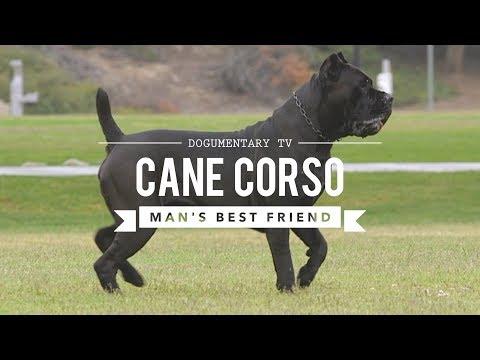 Xxx Mp4 CANE CORSO MAN39S BEST FRIEND 3gp Sex
