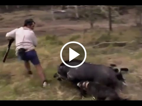 Los 10 ataques de jabalíes más espectaculares