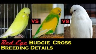 Red Eyes Budgie Cross Breeding Details - How to get Red Eyes Budgie ?