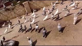 Madrasi pigeon Ilyas ustad