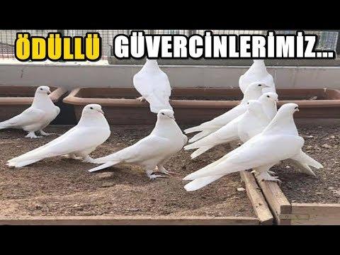 GÜVERCİN KÜMESİMDEN VİDEO - Güvercinler Video İzle | Pigeon Videos