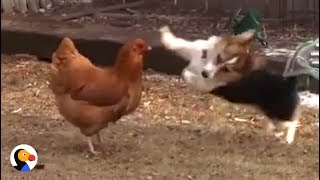 Chicken Fights off Corgi Dog with Duck's Help | The Dodo