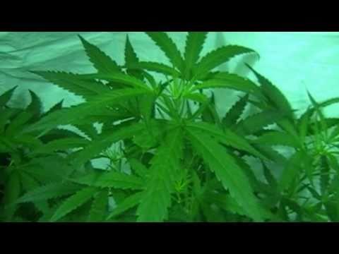 Xxx Mp4 HUGE MARIJUANA PLANTS KUSH SKUNK 1 WHITE RHINO Medi One Green Planet Nutrients 3gp Sex
