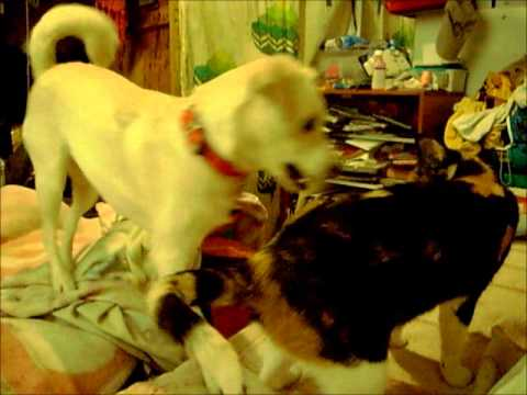 Xxx Mp4 Xxx Perro Vs Gato Cat Vs Dog ROUND 1 Xxx AbismoFilmsX 3gp Sex