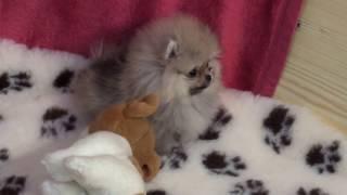 Zwergspitz Pomeranian Welpen VDH/FCI Ahnentafel