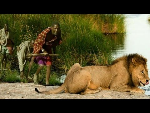 أسد الماساي صراع الأسود والحيوانات المفترسة