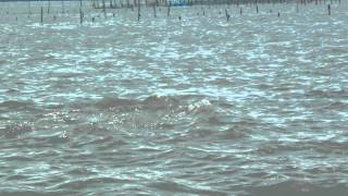 dolphins at chilika lake...
