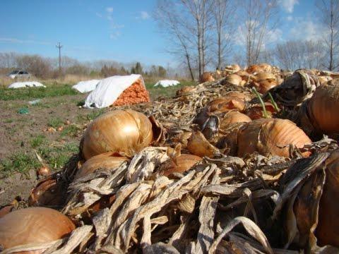Jornada sobre cosecha de cebolla en Conesa RN
