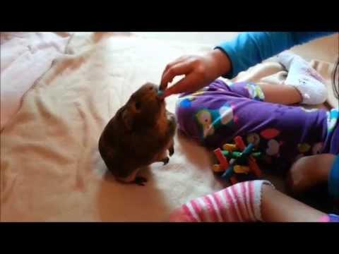 Talented Guinea pig Brownie