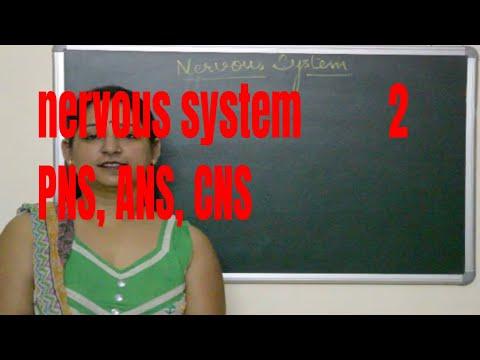 Xxx Mp4 Types Of Nervous System CNS PNS ANS Explained 3gp Sex