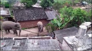 'What's for dinner, neighbor?' Wild elephants destroyed 30 houses in SW China in search of food