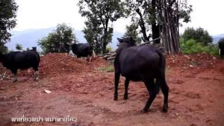A Gayal Bull in Chin State