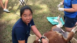 Miniature horse full length castration video