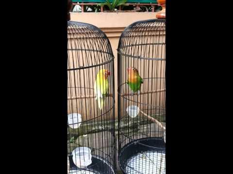 Anakan lovebird belajar ngekek (3 bln) II