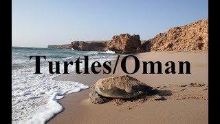 Turtle Reserve Ras al Jinz/Oman  Part 16