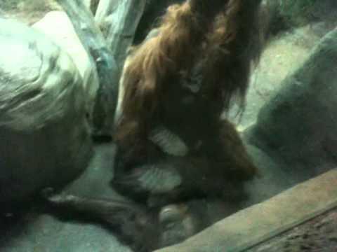 Orangutan SEX!!!