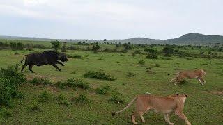 Lion VS Buffalo - 1 Buffalo attack 4 Lions, Masai Mara, Kenya