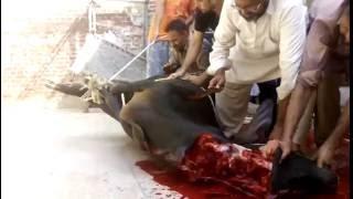 dangerous black cow qurbani 2016