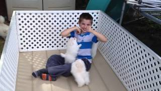 White Pomeranian Puppies playing part 2