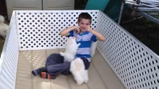 White Pomeranian Puppies playing part 2