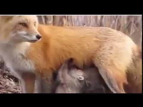 fox give milk in the chieldren...open the side