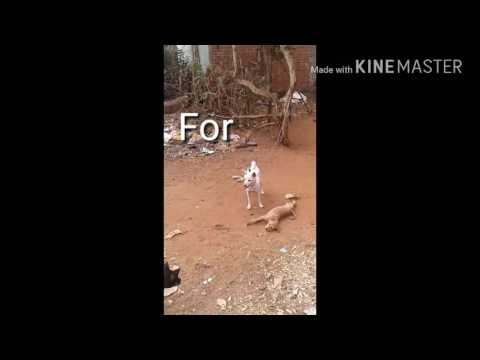 Xxx Mp4 Odia Dil Diwana Heegala Hd Video Funny 3 Dog Fight Video 2017 Com Dill DiWana Hoigala Hd Videos 3gp Sex
