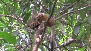 Monkey eats bird Suriname