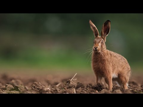 Life in the Wild Part 14: Photographing Brown Hares
