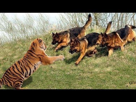 Xxx Mp4 Wild Animals Fights Powerful Tiger Vs Big Warthog Wild Dogs Vs Wildebeest Cheetah Buffalo 3gp Sex