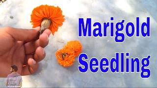गर्मियों में भी लगाए गेंदे के फूल भाग -1 /How to Grow Marigold from Seeds with update /Mammal Bonsai