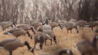 Heartland Bowhunter Canada Goose Hunt 2015