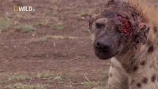 Hyena face get destroyed after lion attack