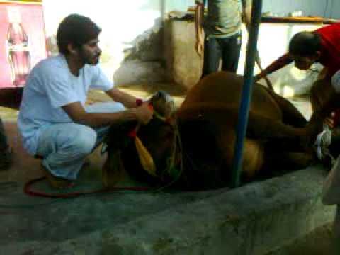 KABEER S COW QURBANI 2011