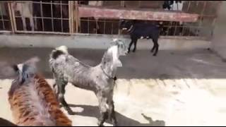 Nachi goat grey colour