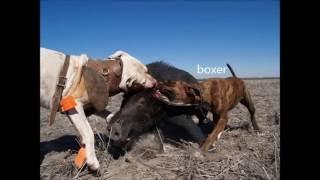 Top melhores cães de agarre pra caça de javali