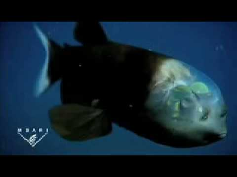 pez con cabeza transparente