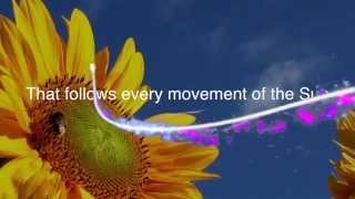 Like A Sunflower Song Lyrics