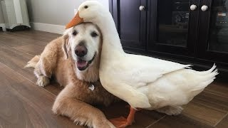 Dog And Duck Are Inseparable Best Friends