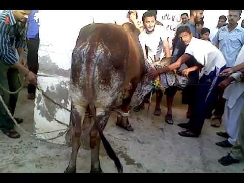 cow run before qurbani.3gp