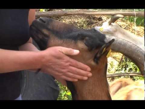 Uzgoj koza u Pirotskom kraju U nasem ataru 496