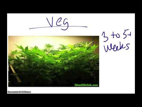 Growing Marijuana Indoors A Beginners Guide