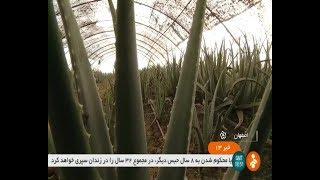 Iran Cheryan village, Isfahan county, Aloe Vera greenhouse گلخانه آلوورا روستاي چريان اصفهان ايران