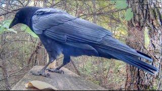 Crow Calling Close Up