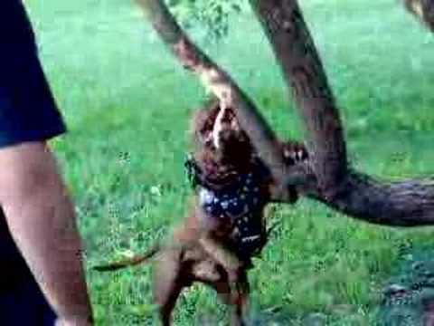 Coco pitbull argentino