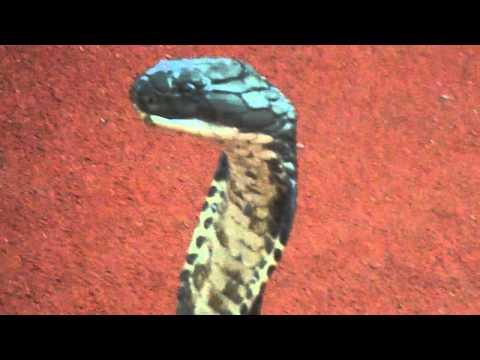 kissing to 4ft cobra