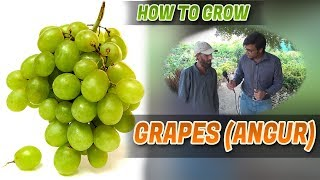 How to grow Grapes (Angor) plants Jamshed Asmi Informative Channel In (Urdu/Hindi) YouTube