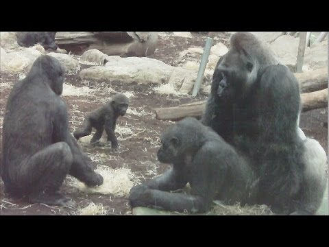 Xxx Mp4 GORILLA TANGO Mating Gorilla Rututu And Sonja Baby Gorilla Nafi And Sadiki 3gp Sex