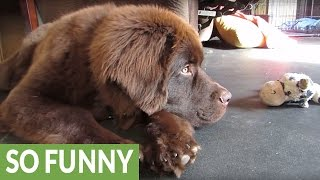 Puppy humorously in training to be guard dog